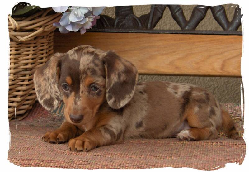 Linda\'s Pups - Quality bred, family raised Dachsunds!~