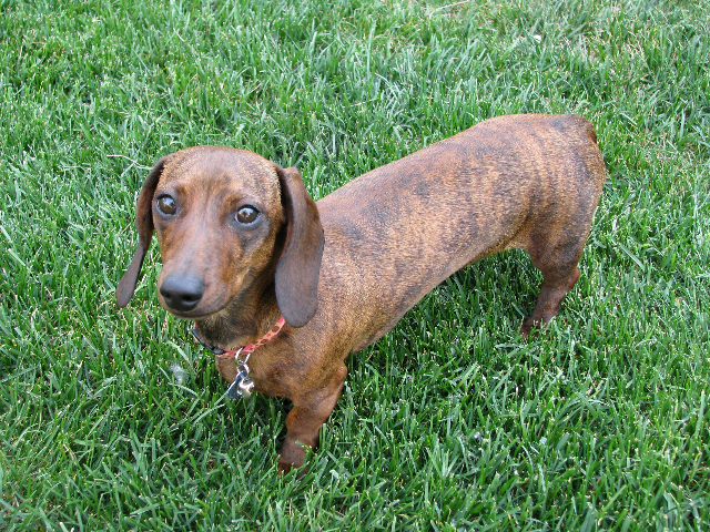 Mini Dachshund Full Grown - Goldenacresdogs.com